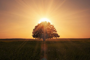 lone tree in a field; sun is setting behind it